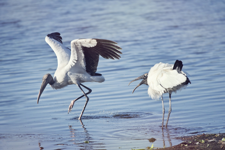 Two  wood storks fighting in a lake Stock Photo