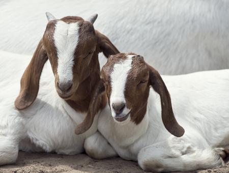 休憩 2 つ若い Boer ヤギ