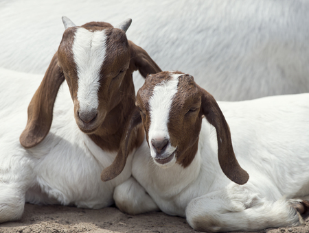 Two Young Boer Goats resting