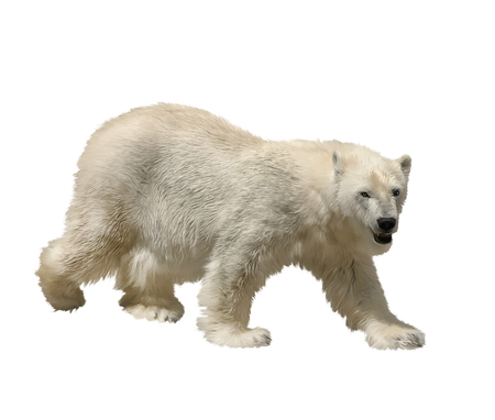 Digital Painting Of Polar Bear on white background