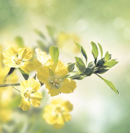 Primrose Willow wild flowers blossom