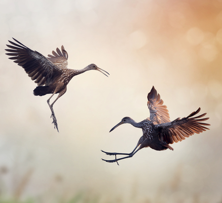 Two Limpkin Birds in Fight Stock Photo