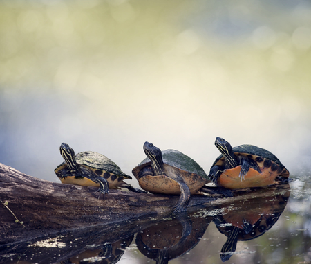 Three Florida  Turtles Sunning On A Log