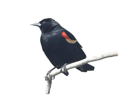 Red-Winged Blackbird male isolated on white background 版權商用圖片