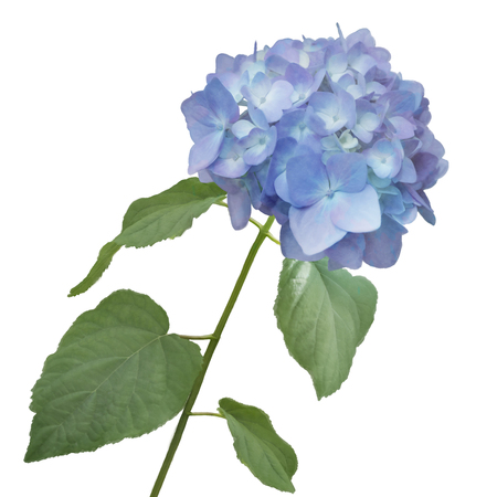 blue hydrangea flower watercolor Stock Photo