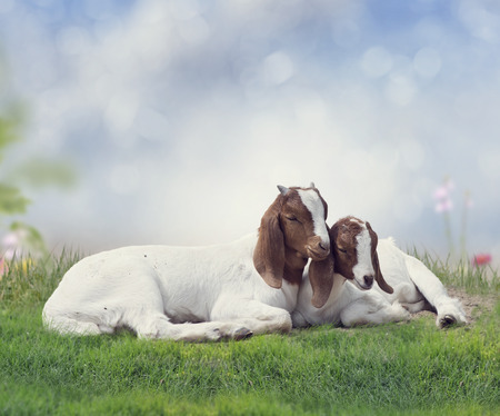 boer: Two young Boer goats resting