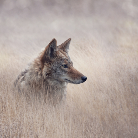 Close Up image of Coyote in a grassland Stock Photo