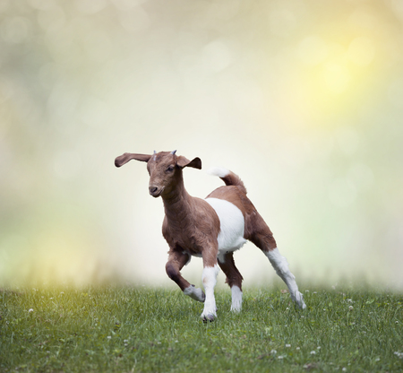 boer: Young boer goat running on the grass