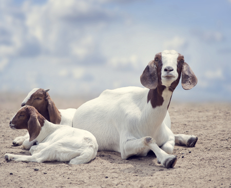 boer:  Boer goats mother and babies resting