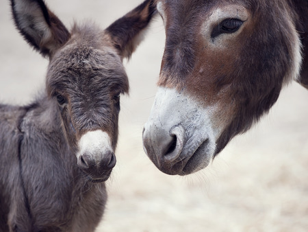 baby ass: Baby donkey mule with its mother, close up