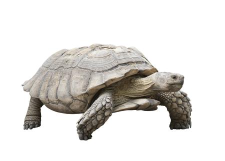 giant Galapagos turtle isolated on white background