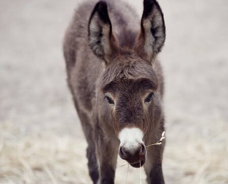 baby ass: Young donkey mule eating, close up