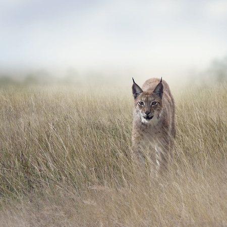 Young Lynx walking  In the Grassland