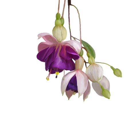 Digital Painting of  Purple Fuchsia Flowers on white background