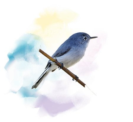 Digital Painting of  Blue-gray Gnatcatcher Imagens
