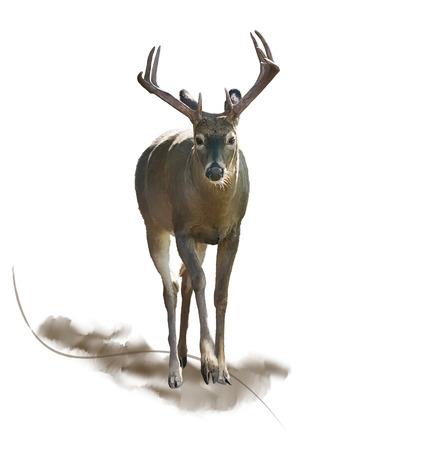 Digital Painting of  Male Deer