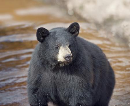 Black Bear (Ursus americans) in water