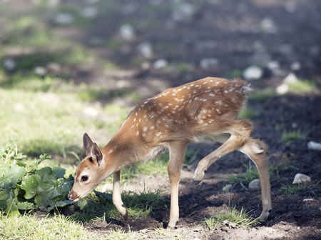 White-tailed deer fawn walking