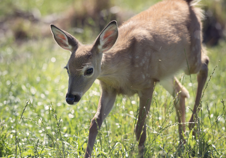 spotted fur: White-tailed deer fawn walking