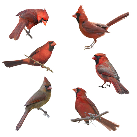 Mannelijke en vrouwelijke noordelijke kardinalen geïsoleerd op een witte achtergrond