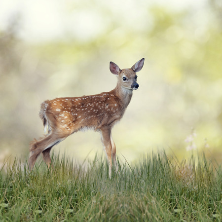 White-tailed deer fawn in grass