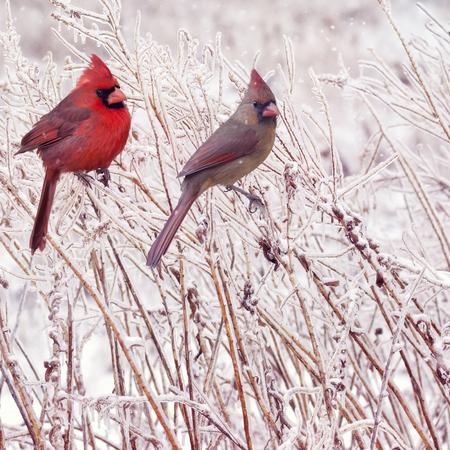 Cardenales norteños masculinos y femeninos en el invierno Foto de archivo - 91168361