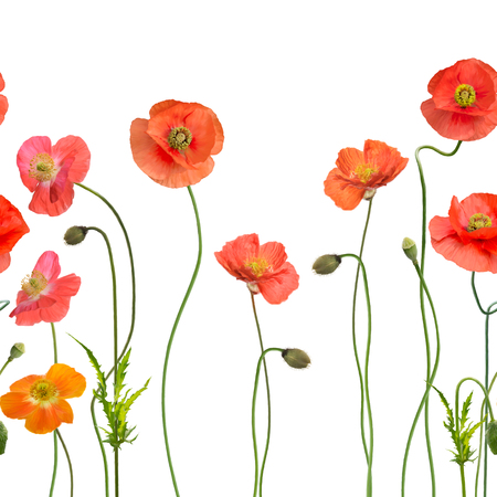 seamless pattern with Red Poppy Flowers on white background Stock Photo