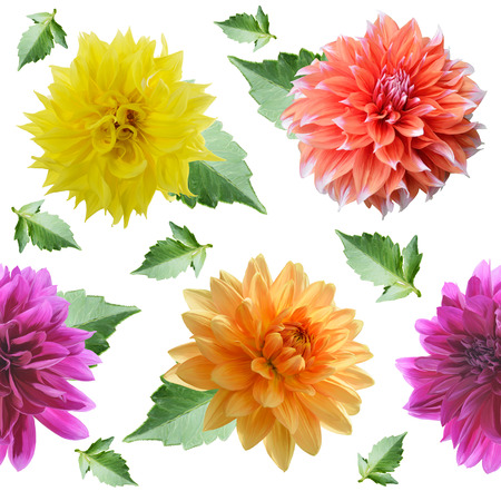 seamless  pattern of dahlia flowers on white background Stock Photo