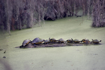 Florida Turtles Sunning On A Log in a Swamp