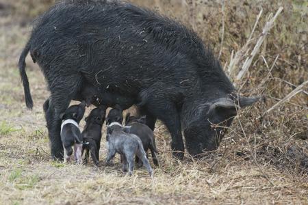 Wild hog with cute piglets in Florida wetlands