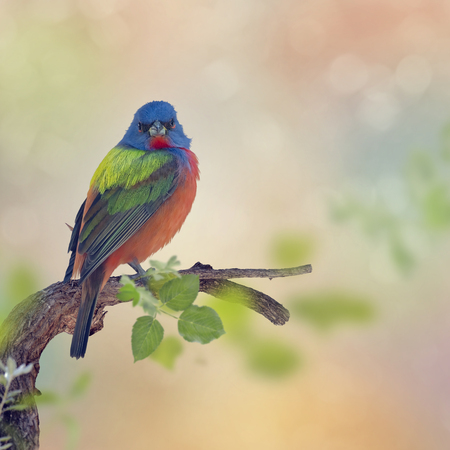 Male Painted Bunting perches