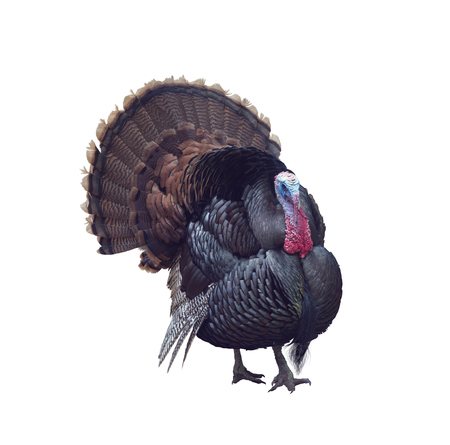 WIld Tom Turkey isolated on white background