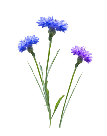 Cornflowers isolated on white background Standard-Bild - 100664689