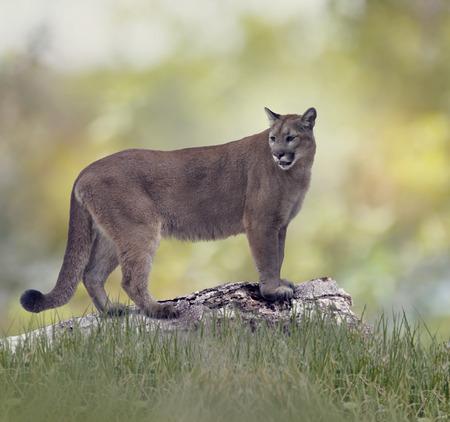 Florida panther or cougar on a log
