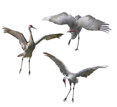 Sandhill Cranes painting isolated on white background