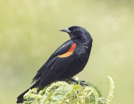Male Red-winged Blackbird perches Stock Photo