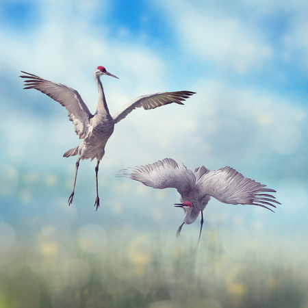 Pair of Sandhill Cranes  dance in the Florida wetlands.Digital art.
