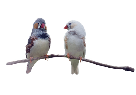 chestnut-eared finch or Australian zebra finch watercolor painting,isolated on white background