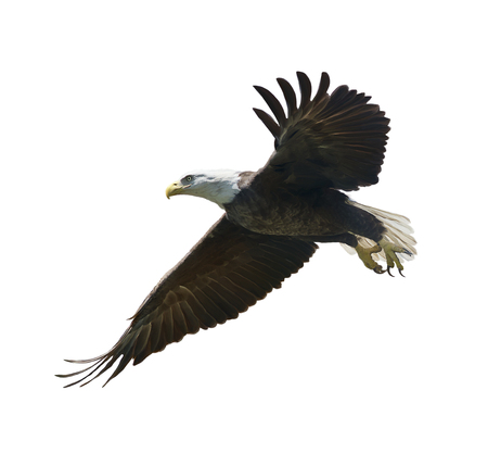 american bald eagle in flight ,watercolor painting Reklamní fotografie