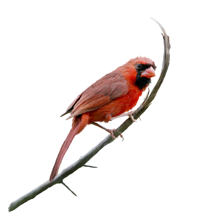 Male Northern Cardinal watercolor painting,isolated on white background