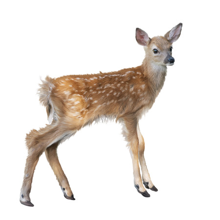 whitetail deer fawn watercolor, isolated on white background