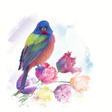 Male Painted Bunting with tulips, watercolor painting Фото со стока
