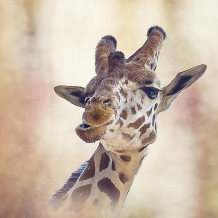 Digital painting of giraffe portrait 스톡 콘텐츠