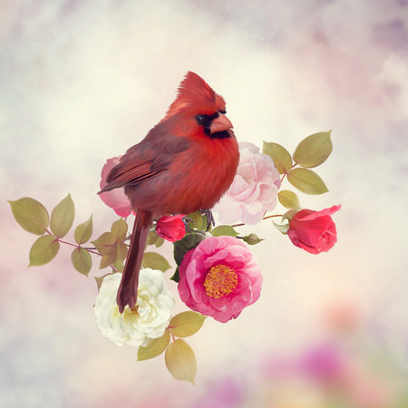 Male Northern cardinal in the rose garden Stock Photo
