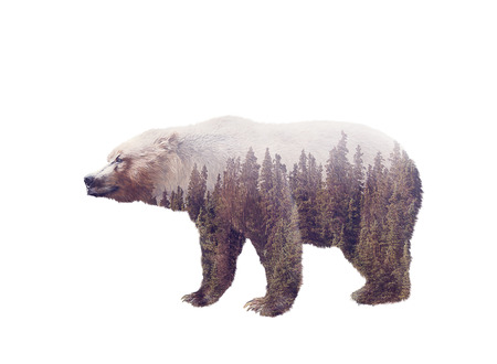 Double exposure of a wild brown bear and a pine forest isolated on white background
