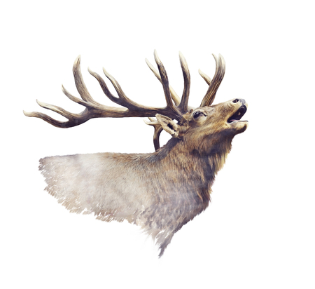 Bull elk portrait watercolor on white background