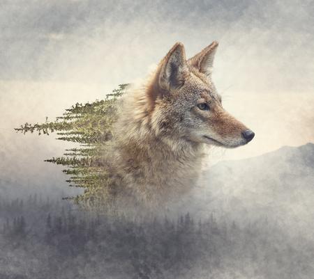 Doppelbelichtung von Kojotenporträt und Kiefernwald auf dem Berg