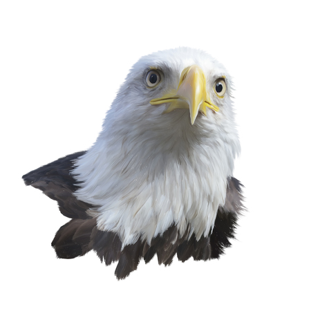 Portrait of bald eagle isolated on a white background Stock Photo