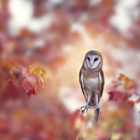 Barn owl perching in the autumn forest