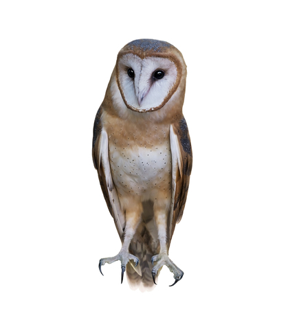 Wild barn owl isolated on a white background Stock Photo